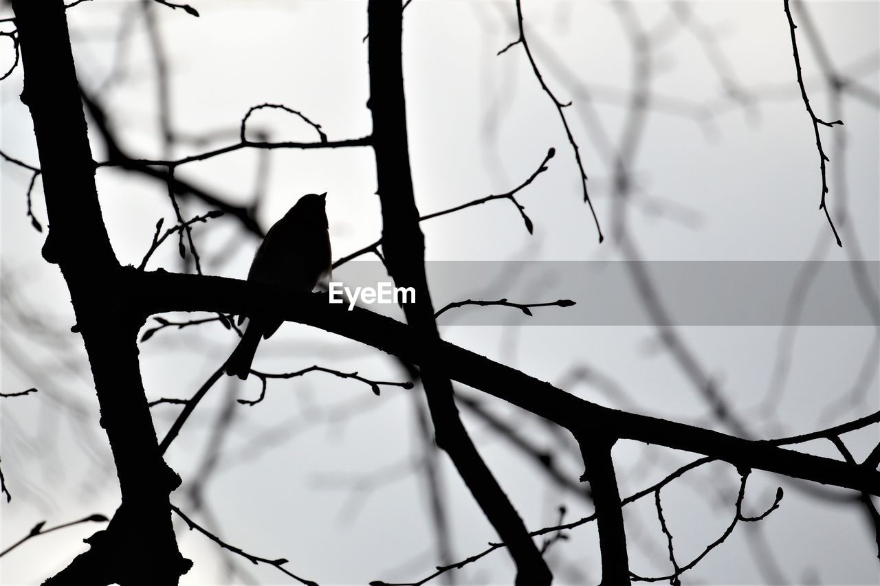 tree, branch, vertebrate, bird, animals in the wild, animal wildlife, animal themes, animal, perching, silhouette, low angle view, no people, plant, sky, nature, bare tree, one animal, focus on foreground, day, outdoors