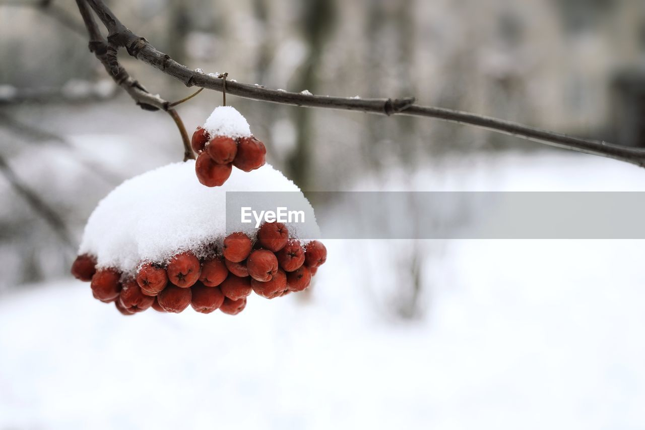 snow, winter, cold temperature, hanging, fruit, white color, nature, outdoors, food and drink, red, beauty in nature, no people, day, focus on foreground, food, healthy eating, close-up, freshness, sky