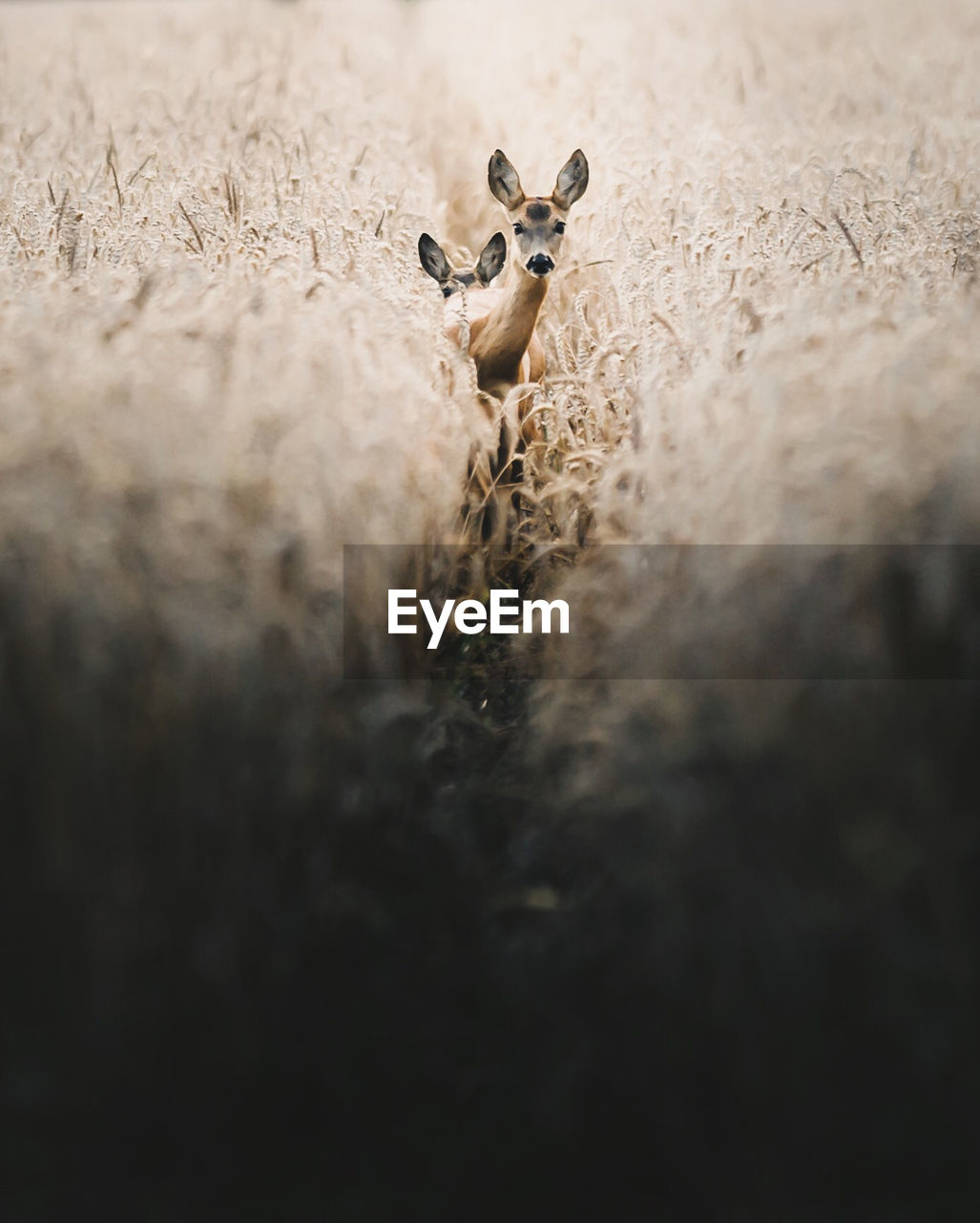 selective focus, animal, animal themes, animals in the wild, animal wildlife, no people, mammal, one animal, day, nature, vertebrate, land, looking at camera, sheep, field, close-up, domestic animals, animal body part, plant, herbivorous, animal head