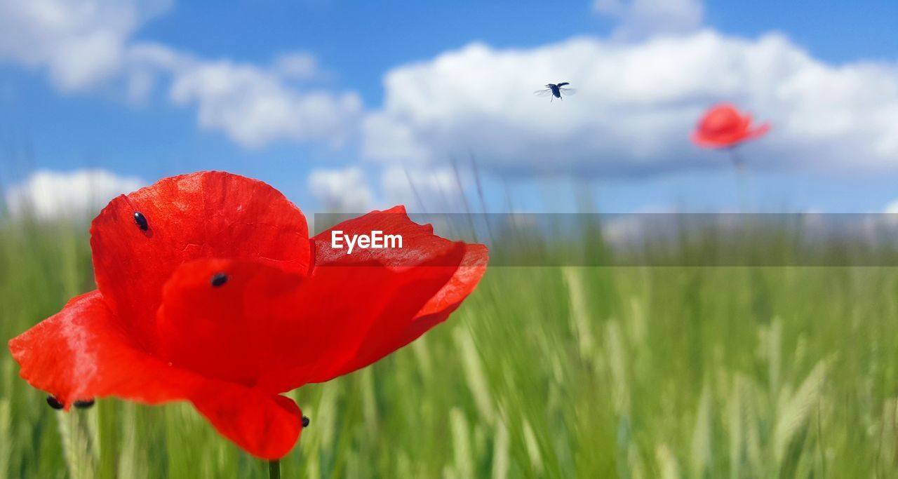 plant, flowering plant, flower, red, fragility, petal, growth, vulnerability, freshness, beauty in nature, nature, poppy, flower head, field, inflorescence, sky, land, cloud - sky, close-up, focus on foreground, no people