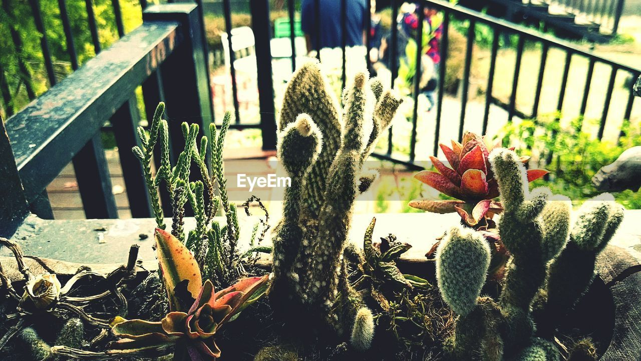 plant, growth, cactus, outdoors, potted plant, no people, day, front or back yard, nature, focus on foreground, green color, close-up, sunlight, flower