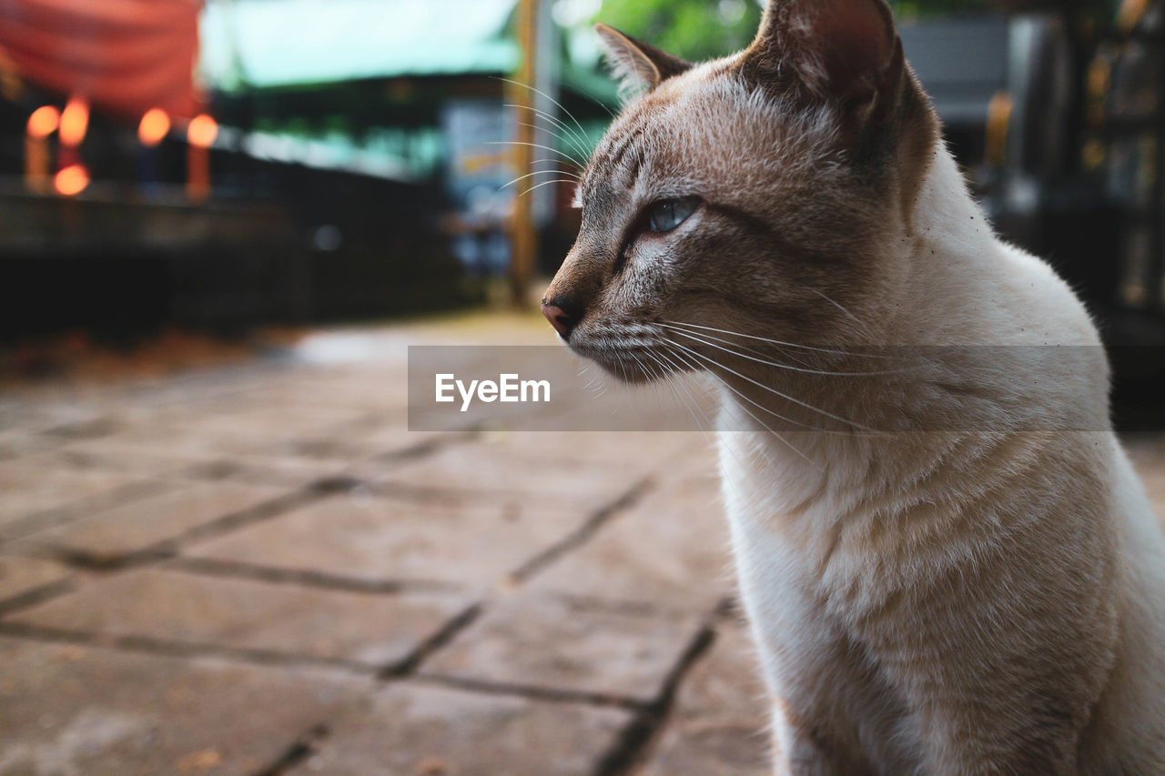 mammal, one animal, cat, domestic animals, domestic cat, pets, domestic, feline, animal themes, animal, vertebrate, looking away, focus on foreground, looking, whisker, close-up, no people, footpath, day, animal body part