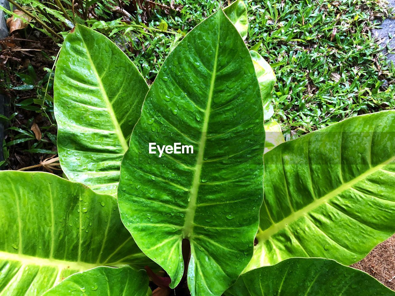 leaf, green color, growth, nature, plant, no people, freshness, outdoors, close-up, day, beauty in nature, banana leaf, banana tree, fragility, tea crop