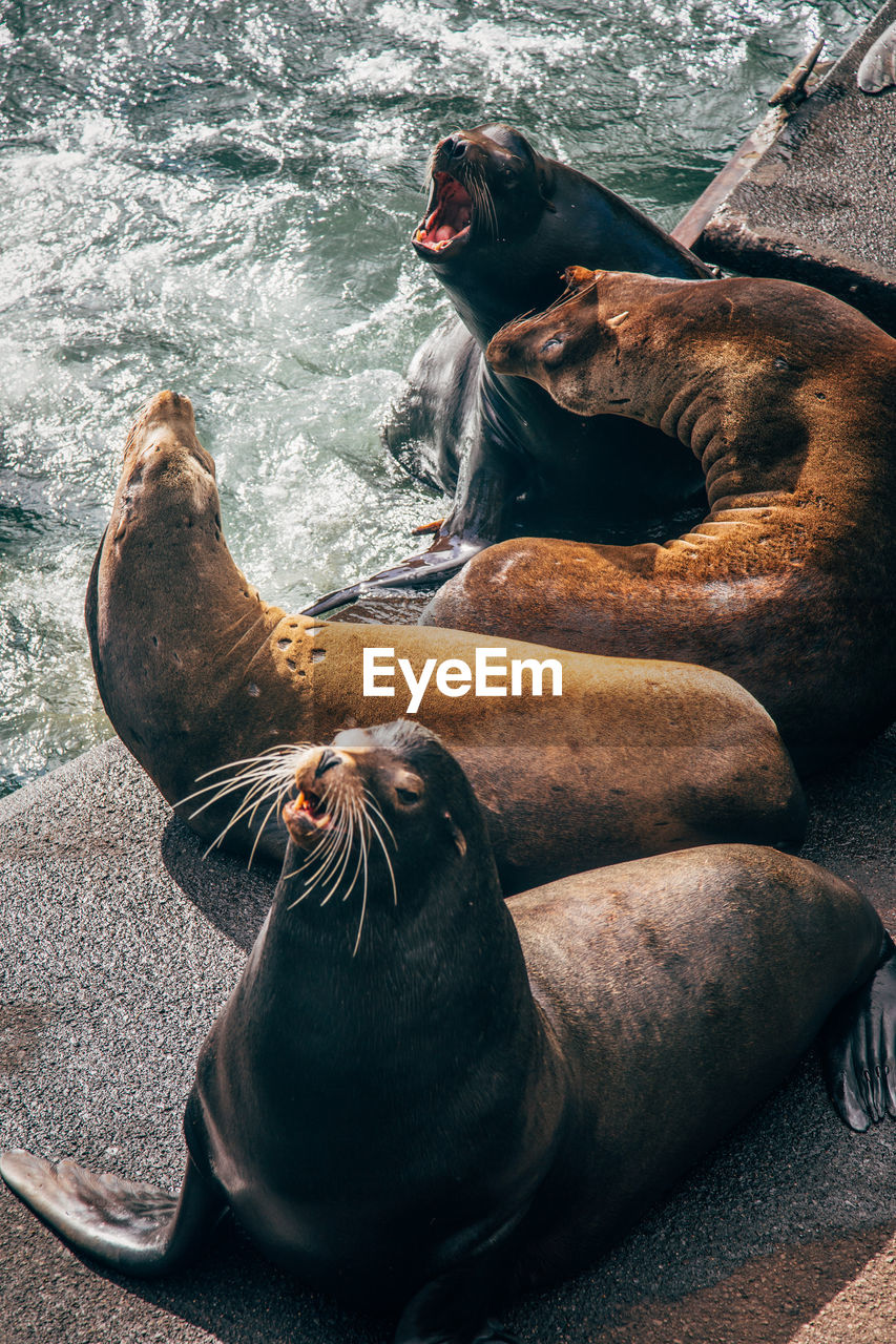 animal, mammal, animal themes, group of animals, animals in the wild, animal wildlife, seal, vertebrate, two animals, underwater, sea lion, sea, relaxation, water, mouth open, nature, seal - animal, mouth, day, no people, marine, whisker