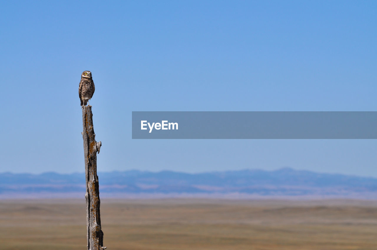 sky, animals in the wild, animal wildlife, vertebrate, bird, copy space, animal, animal themes, land, no people, blue, nature, day, scenics - nature, wood - material, post, clear sky, one animal, beauty in nature, focus on foreground, wooden post, outdoors, arid climate