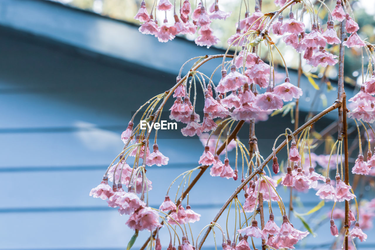 plant, flower, flowering plant, growth, beauty in nature, vulnerability, focus on foreground, fragility, freshness, close-up, pink color, no people, day, nature, branch, outdoors, petal, tree, springtime, blossom, flower head, cherry blossom, plum blossom, cherry tree