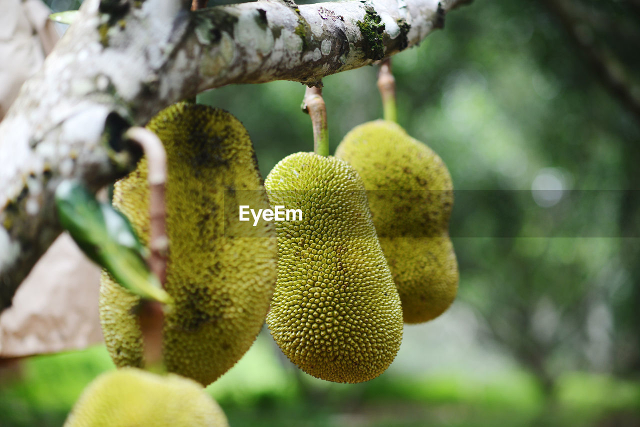 growth, fruit, plant, tree, no people, healthy eating, focus on foreground, food, green color, freshness, close-up, day, food and drink, beauty in nature, nature, kiwi, outdoors, selective focus, kiwi - fruit, wellbeing, ripe