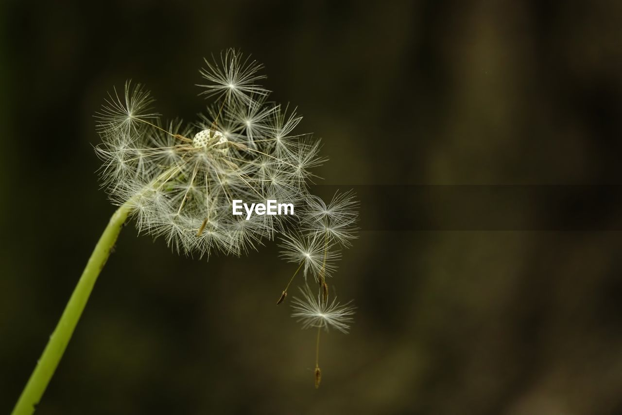 plant, beauty in nature, growth, vulnerability, flower, fragility, dandelion, close-up, freshness, flowering plant, nature, focus on foreground, no people, dandelion seed, day, flower head, selective focus, plant stem, outdoors, inflorescence, softness