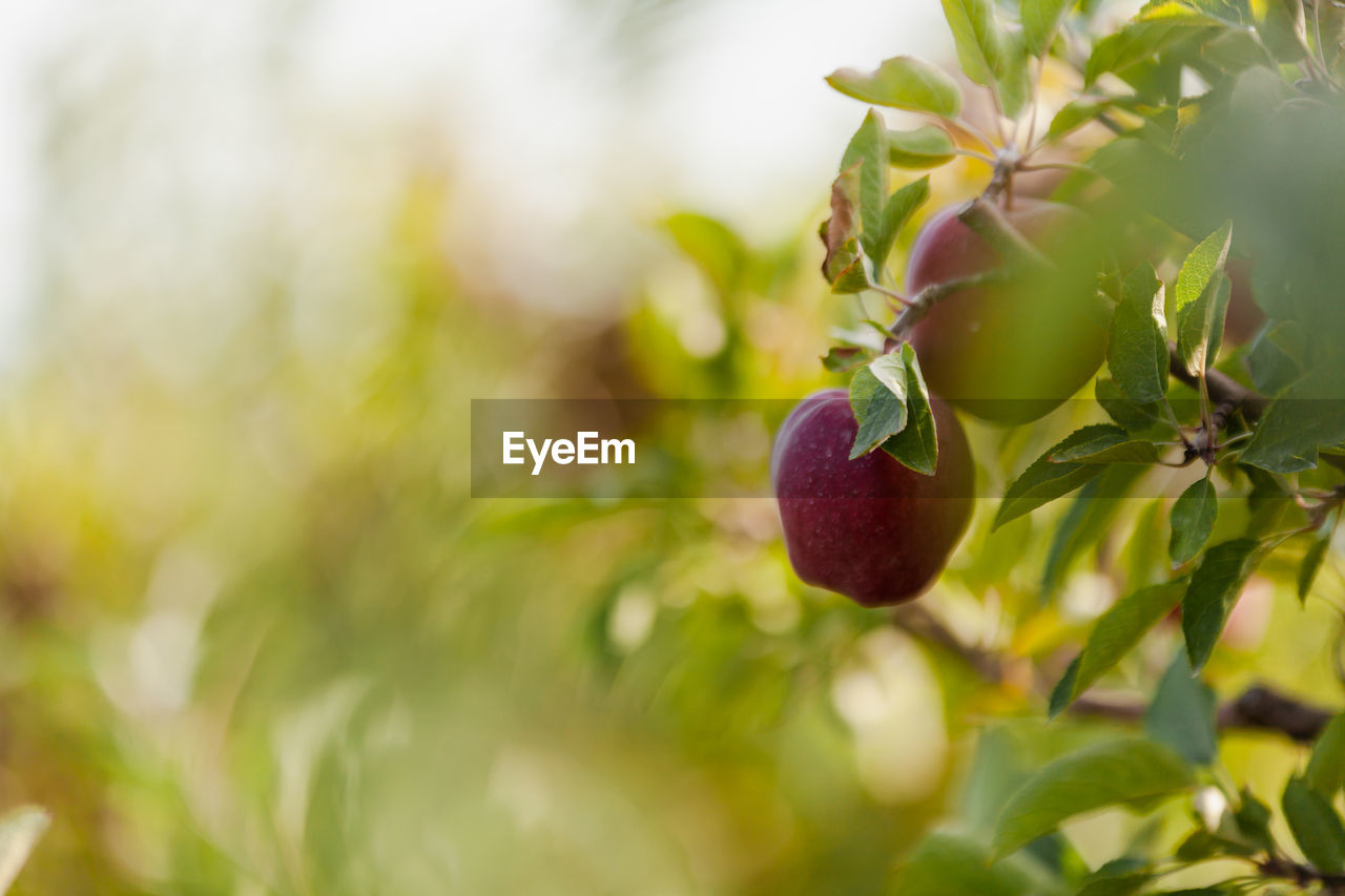 healthy eating, fruit, plant, growth, food, selective focus, food and drink, leaf, plant part, freshness, close-up, tree, no people, wellbeing, nature, day, red, apple - fruit, green color, fruit tree, outdoors, ripe