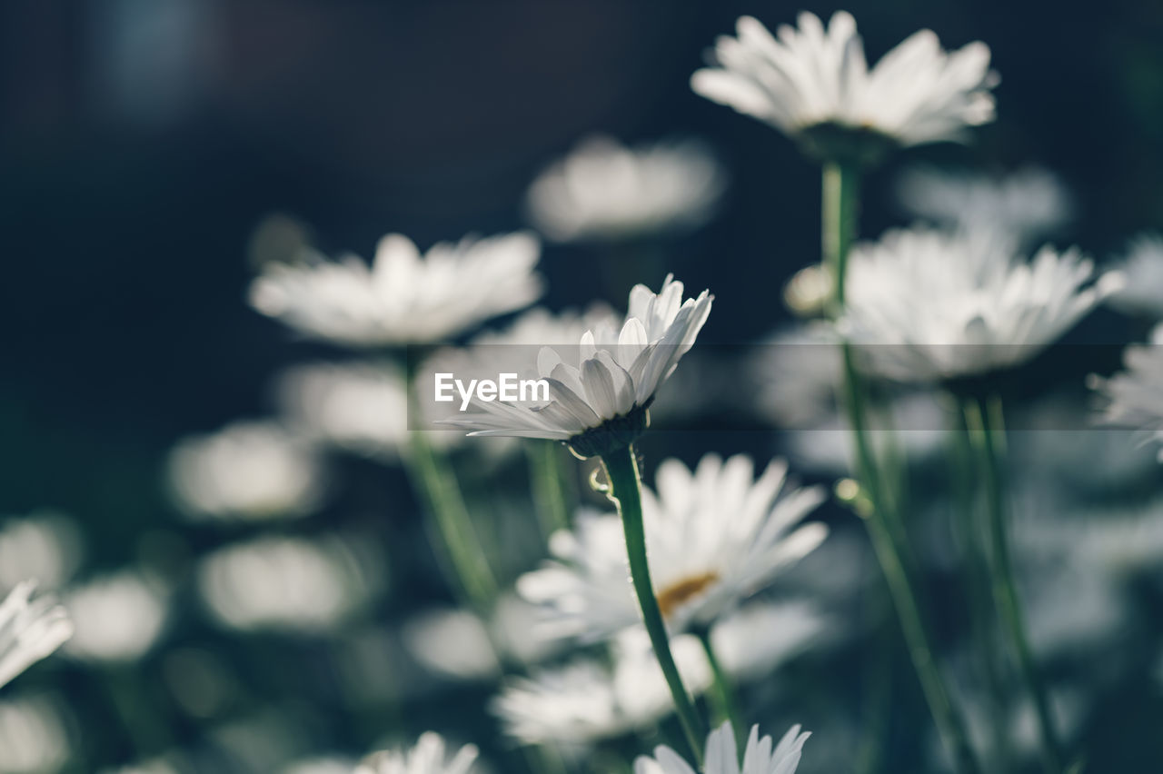 Beautiful white camomiles daisy flowers in garden or fields
