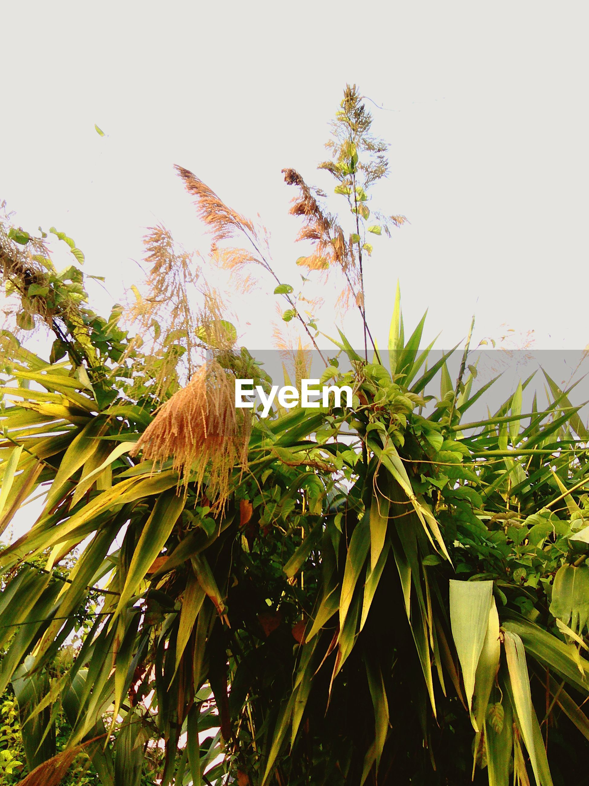 growth, low angle view, leaf, palm tree, clear sky, tree, nature, green color, plant, beauty in nature, sky, green, tranquility, palm leaf, branch, day, outdoors, no people, close-up, freshness
