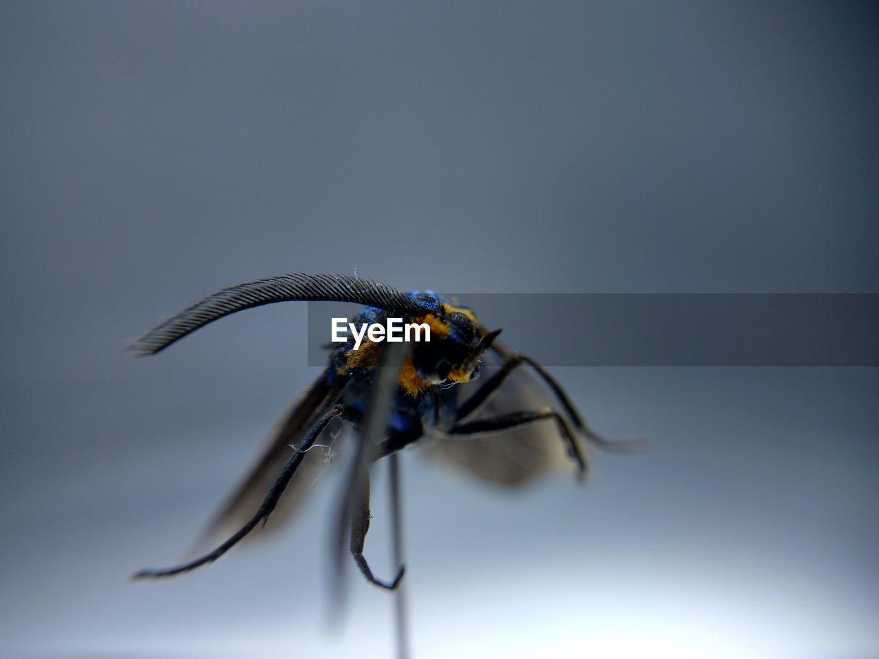 Close-up of virginia ctenucha against gray background