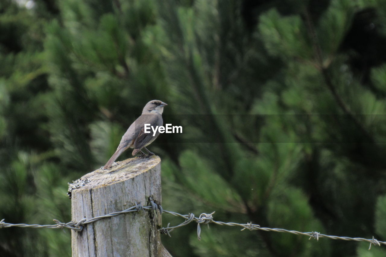 animal, animal themes, animal wildlife, vertebrate, animals in the wild, bird, one animal, perching, wood - material, focus on foreground, fence, boundary, barrier, no people, nature, tree, day, outdoors, plant, safety, wooden post