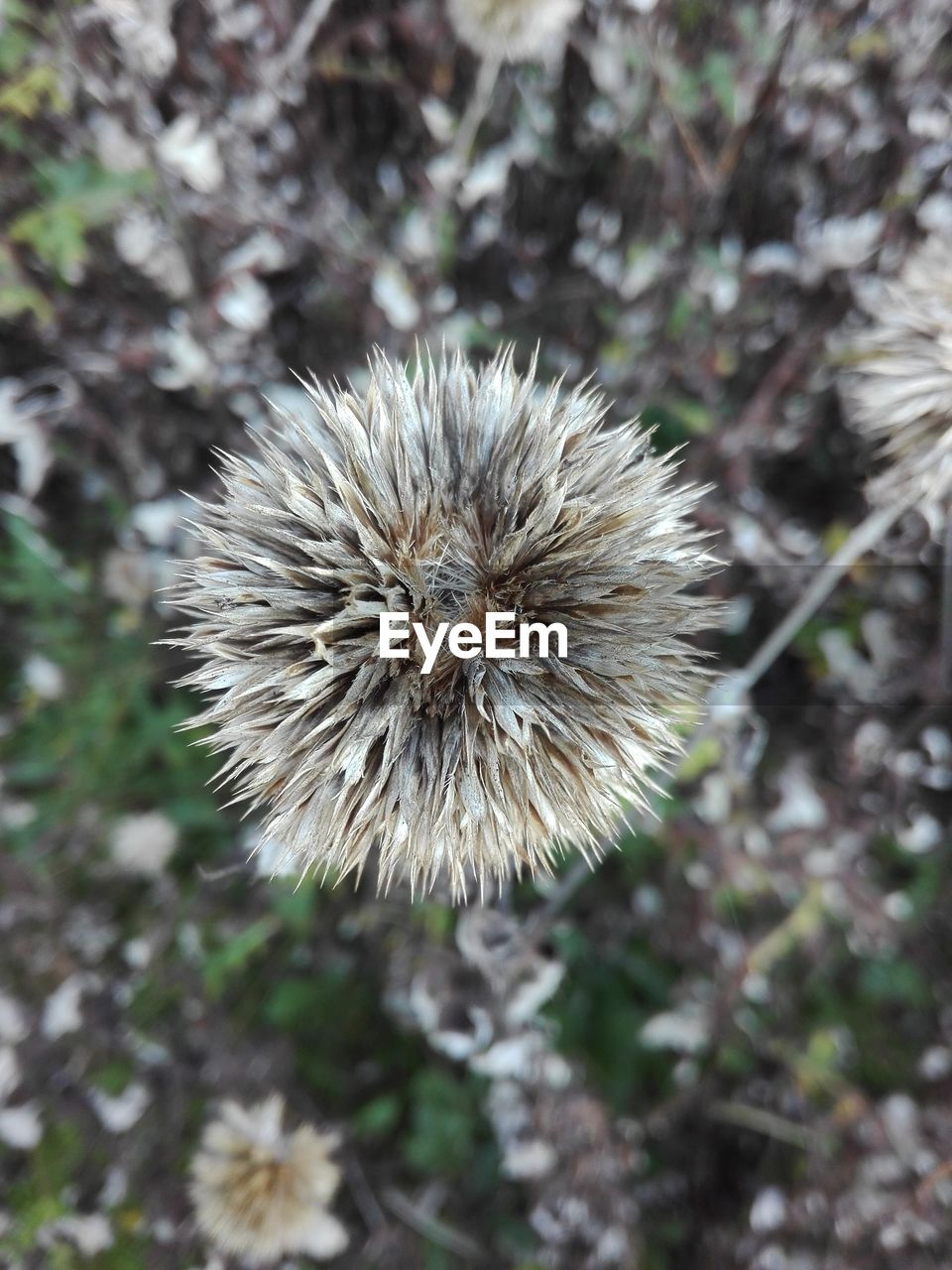 flower, plant, fragility, vulnerability, flowering plant, beauty in nature, close-up, nature, freshness, growth, field, no people, focus on foreground, dandelion, day, land, high angle view, outdoors, inflorescence, flower head, softness, dandelion seed, wilted plant