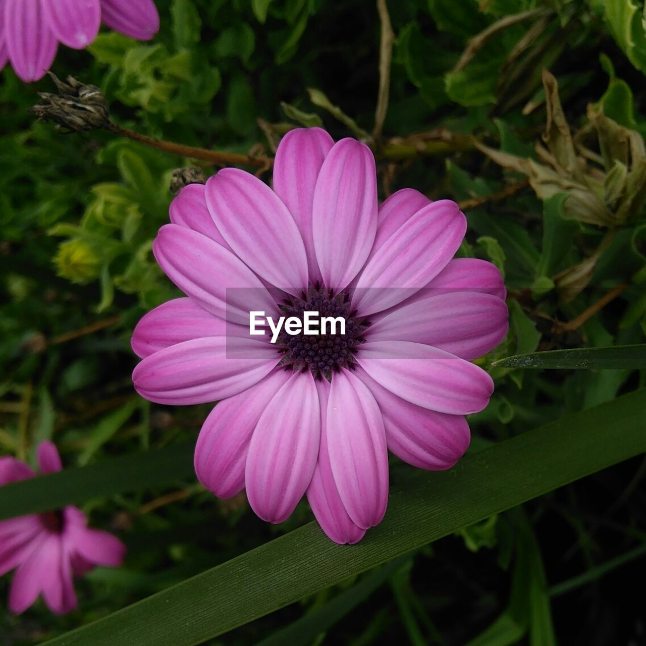 flower, petal, pink color, fragility, plant, freshness, growth, flower head, beauty in nature, nature, blooming, purple, outdoors, focus on foreground, day, no people, close-up, osteospermum, eastern purple coneflower, petunia