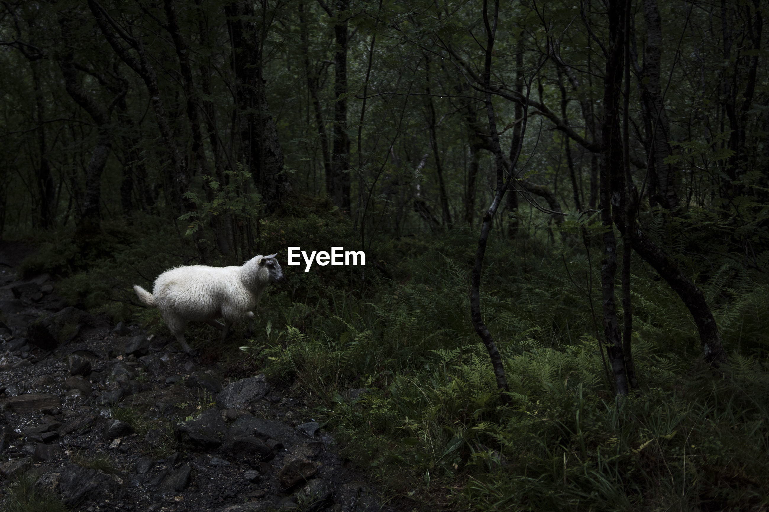 VIEW OF SHEEP IN FOREST