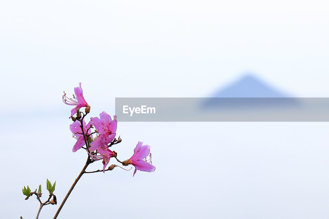 flower, beauty in nature, fragility, nature, pink color, freshness, petal, copy space, no people, clear sky, day, growth, springtime, twig, close-up, blossom, outdoors, flower head, low angle view, branch, sky, blooming, tree