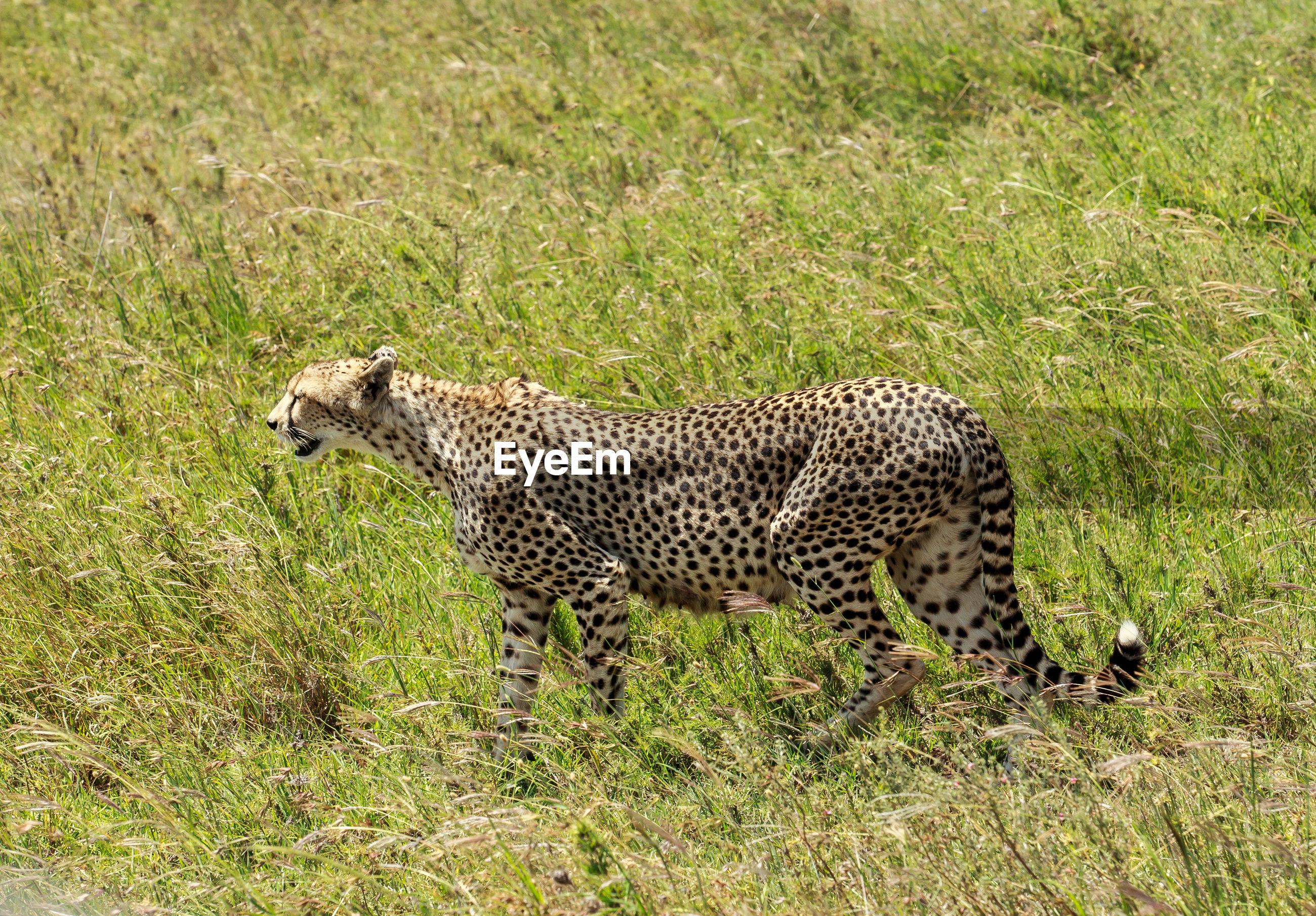 Cheetah walking on grass field
