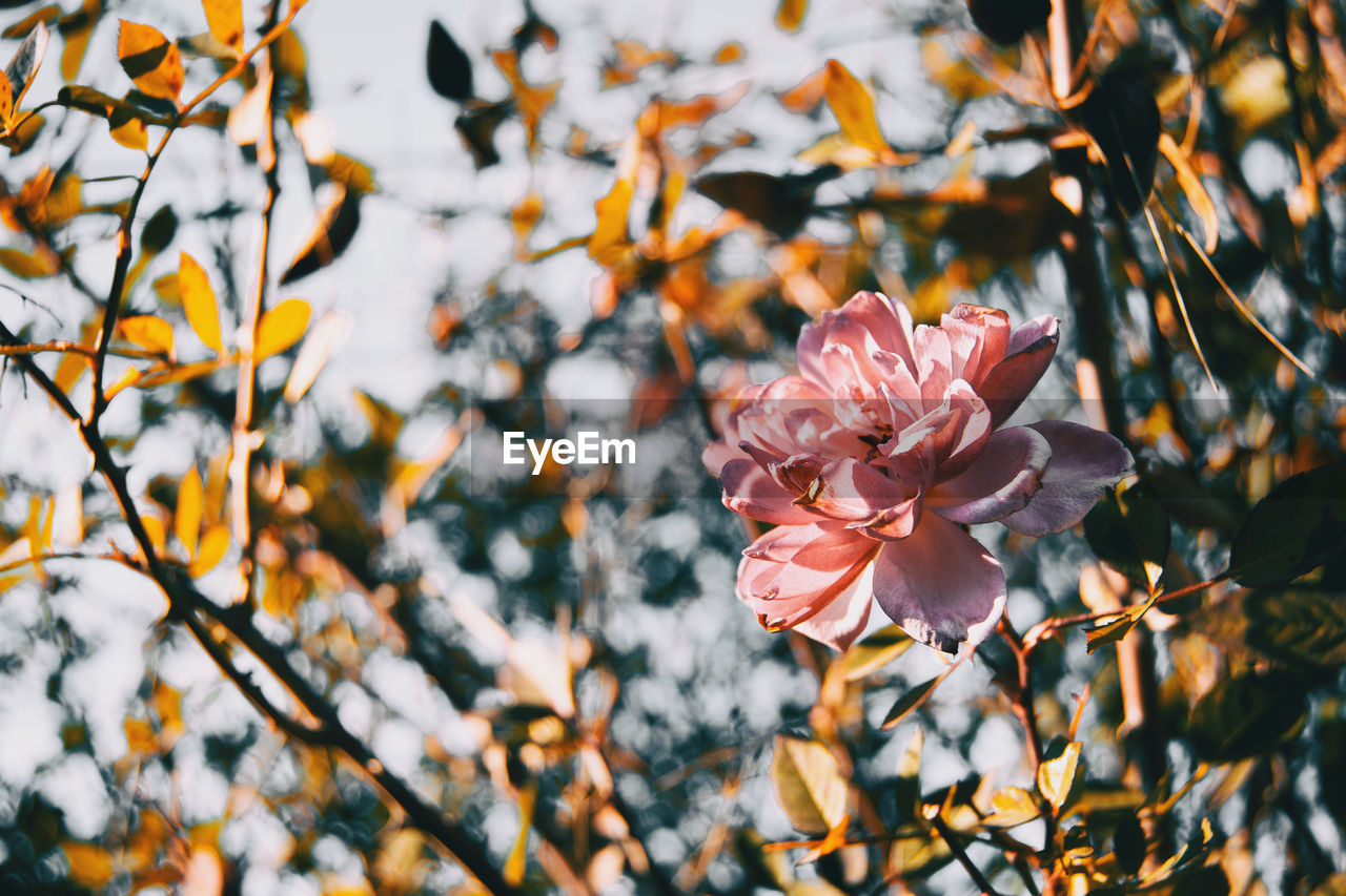 plant, beauty in nature, flower, flowering plant, freshness, petal, growth, fragility, vulnerability, pink color, close-up, inflorescence, flower head, focus on foreground, tree, nature, no people, day, branch, blossom, outdoors, springtime, spring, cherry blossom