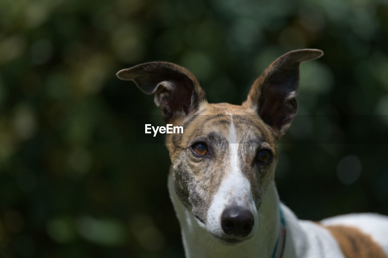 Catch light in the rich brown eyes of this white and brindle pet greyhound sparkles from sunlight.