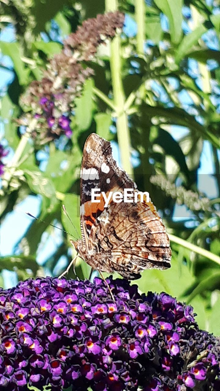 animal wildlife, butterfly - insect, insect, animal themes, one animal, animals in the wild, flower, animal wing, invertebrate, animal, beauty in nature, flowering plant, plant, fragility, close-up, focus on foreground, freshness, vulnerability, nature, purple, pollination, no people, flower head, outdoors, butterfly