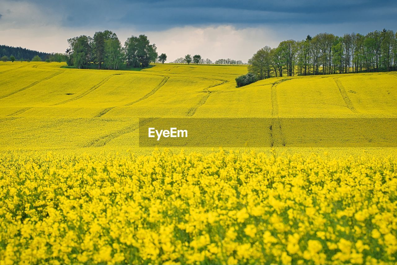 yellow, plant, beauty in nature, agriculture, field, oilseed rape, landscape, scenics - nature, land, growth, rural scene, sky, farm, crop, flower, tranquil scene, environment, tranquility, nature, tree, no people, outdoors, springtime, plantation