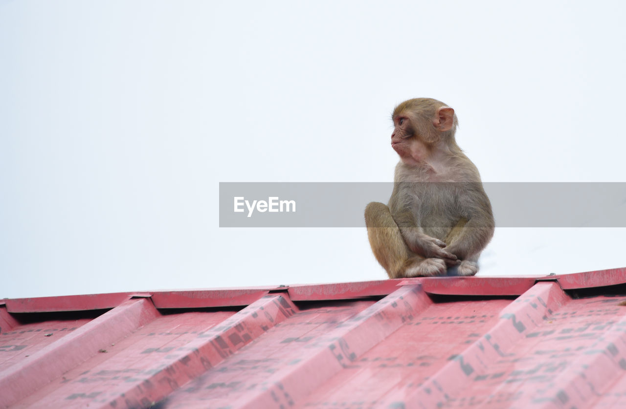 monkey, copy space, one animal, animal themes, animals in the wild, low angle view, mammal, animal wildlife, day, roof, clear sky, no people, sitting, outdoors, perching, close-up