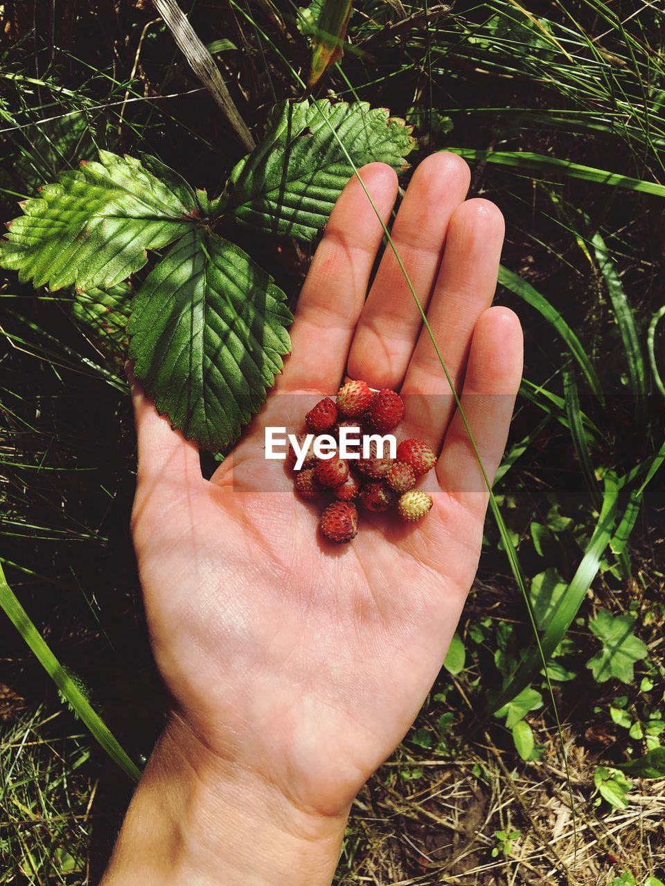 human hand, hand, human body part, real people, food and drink, one person, food, healthy eating, fruit, holding, berry fruit, body part, plant, personal perspective, unrecognizable person, freshness, wellbeing, finger, day, nature