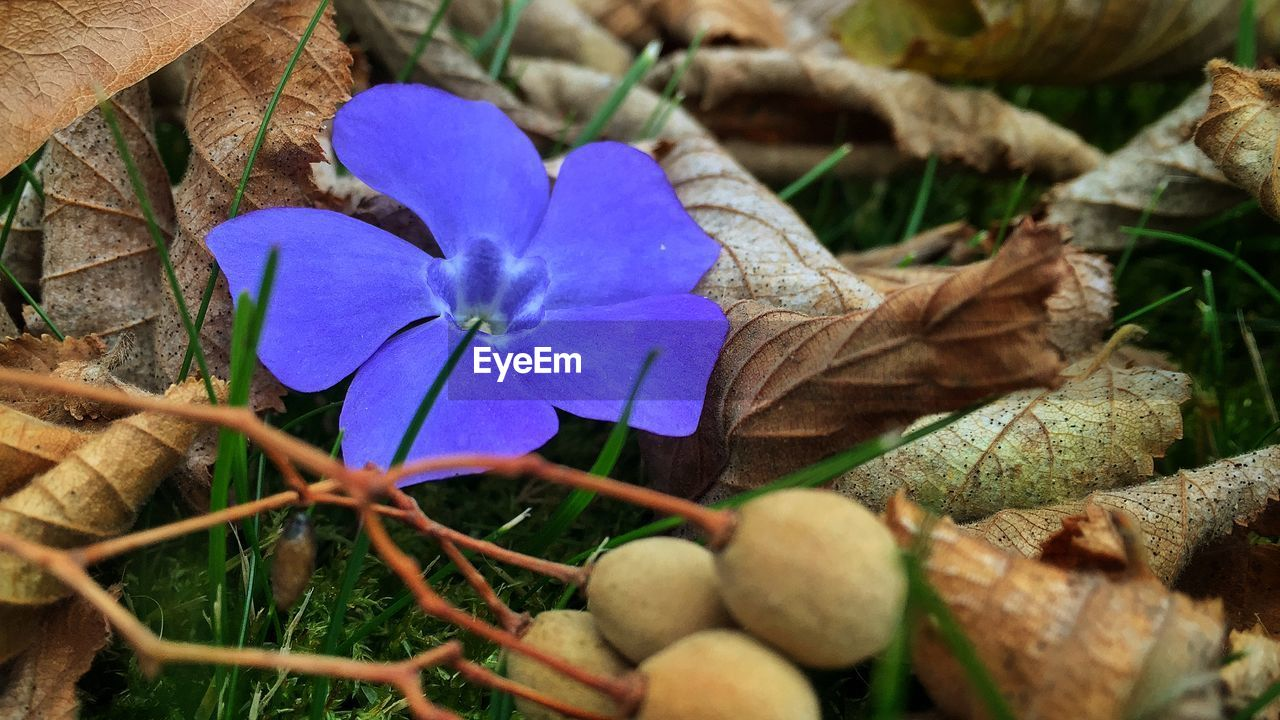 flower, fragility, growth, petal, flower head, blue, nature, beauty in nature, day, purple, no people, plant, outdoors, leaf, close-up, freshness
