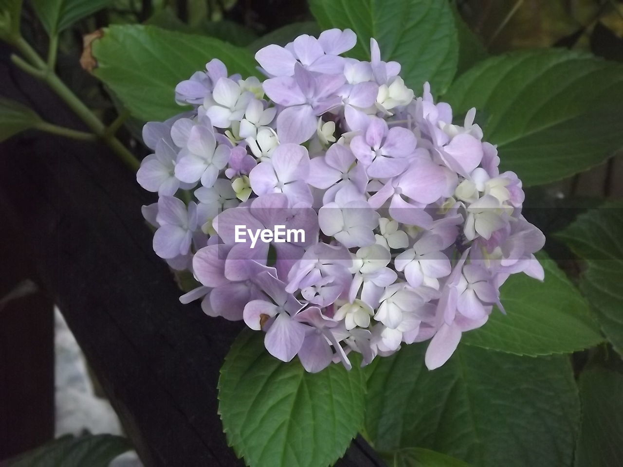 flower, nature, beauty in nature, growth, petal, purple, leaf, freshness, plant, hydrangea, fragility, day, blooming, close-up, no people, outdoors, flower head, lilac