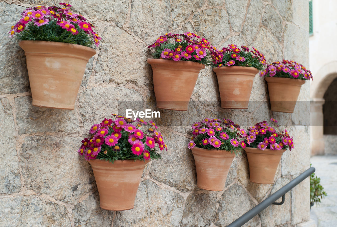 Pink daisy flowers growing in pots hanging from wall at valldemossa