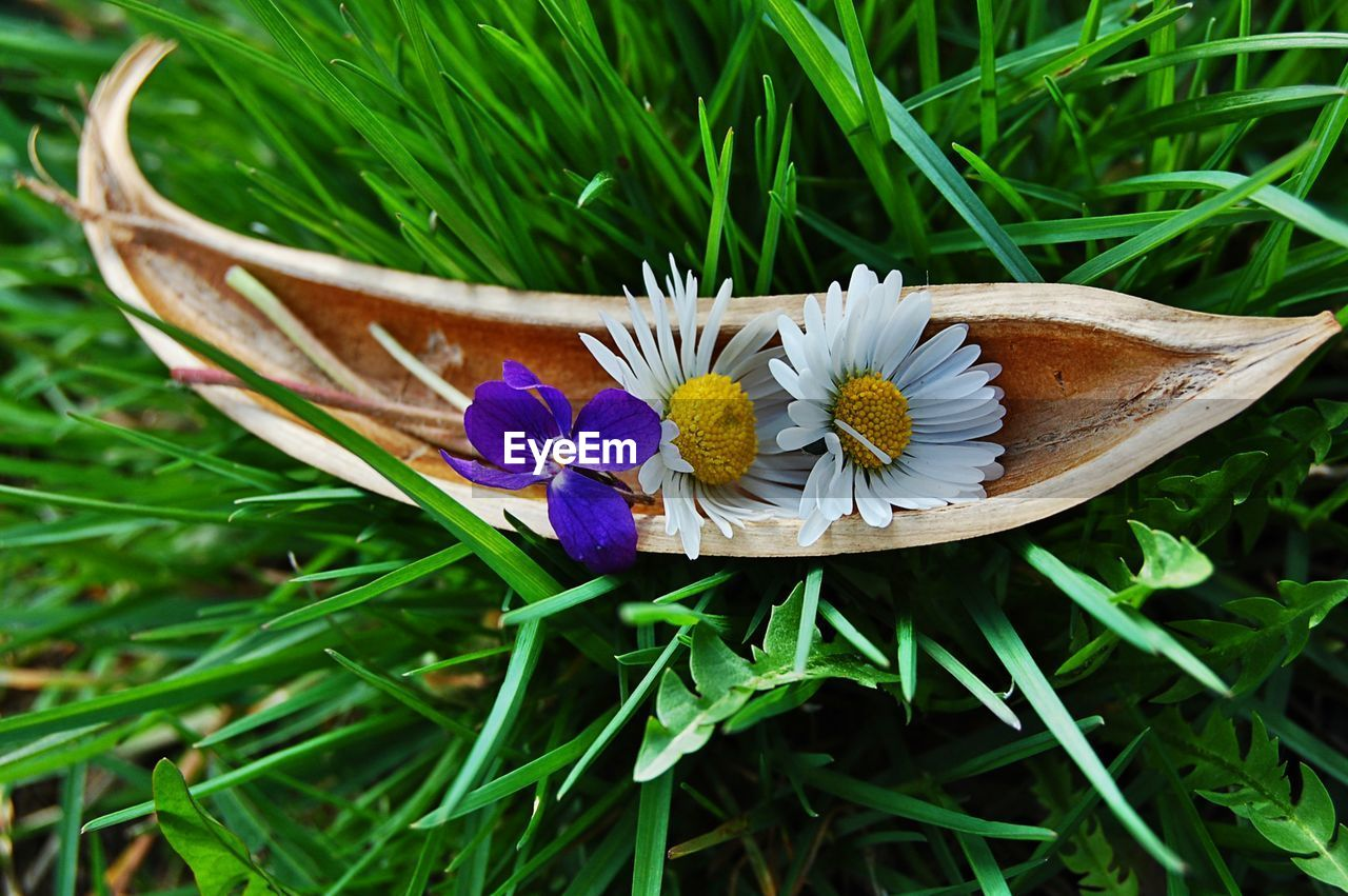 Directly above shot of white and purple flower in plant pod