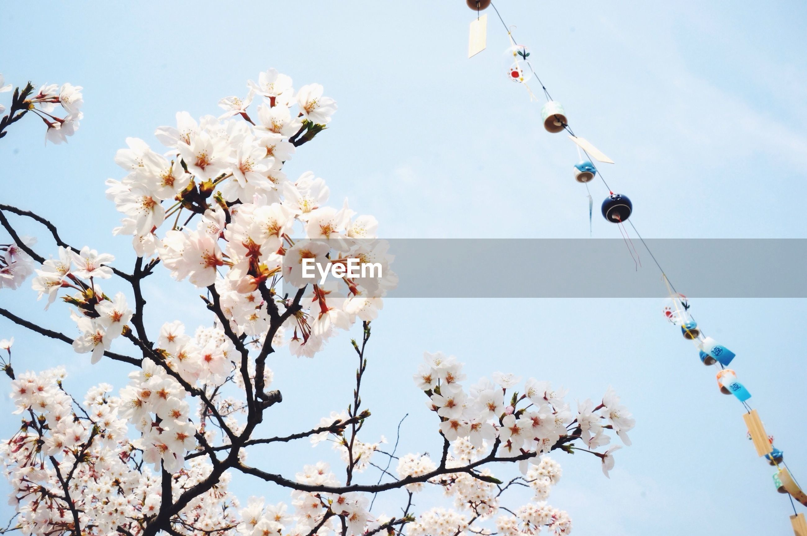 low angle view, branch, flower, tree, clear sky, freshness, growth, sky, cherry tree, nature, beauty in nature, fragility, blue, blossom, cherry blossom, day, twig, pink color, hanging, high section