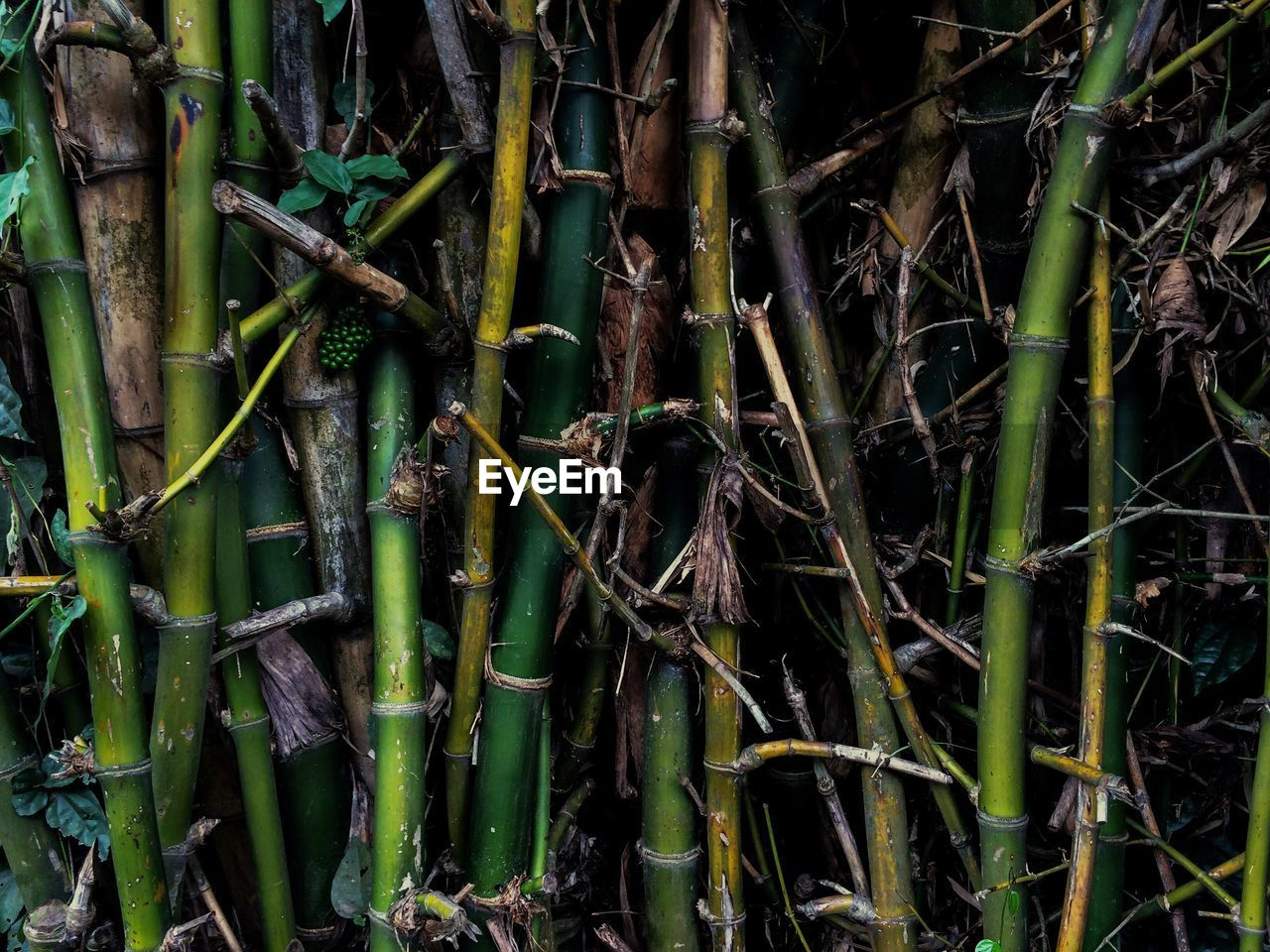plant, bamboo - plant, bamboo, growth, nature, no people, tree, green color, land, forest, tranquility, beauty in nature, day, outdoors, plant part, close-up, bamboo grove, leaf, field, backgrounds