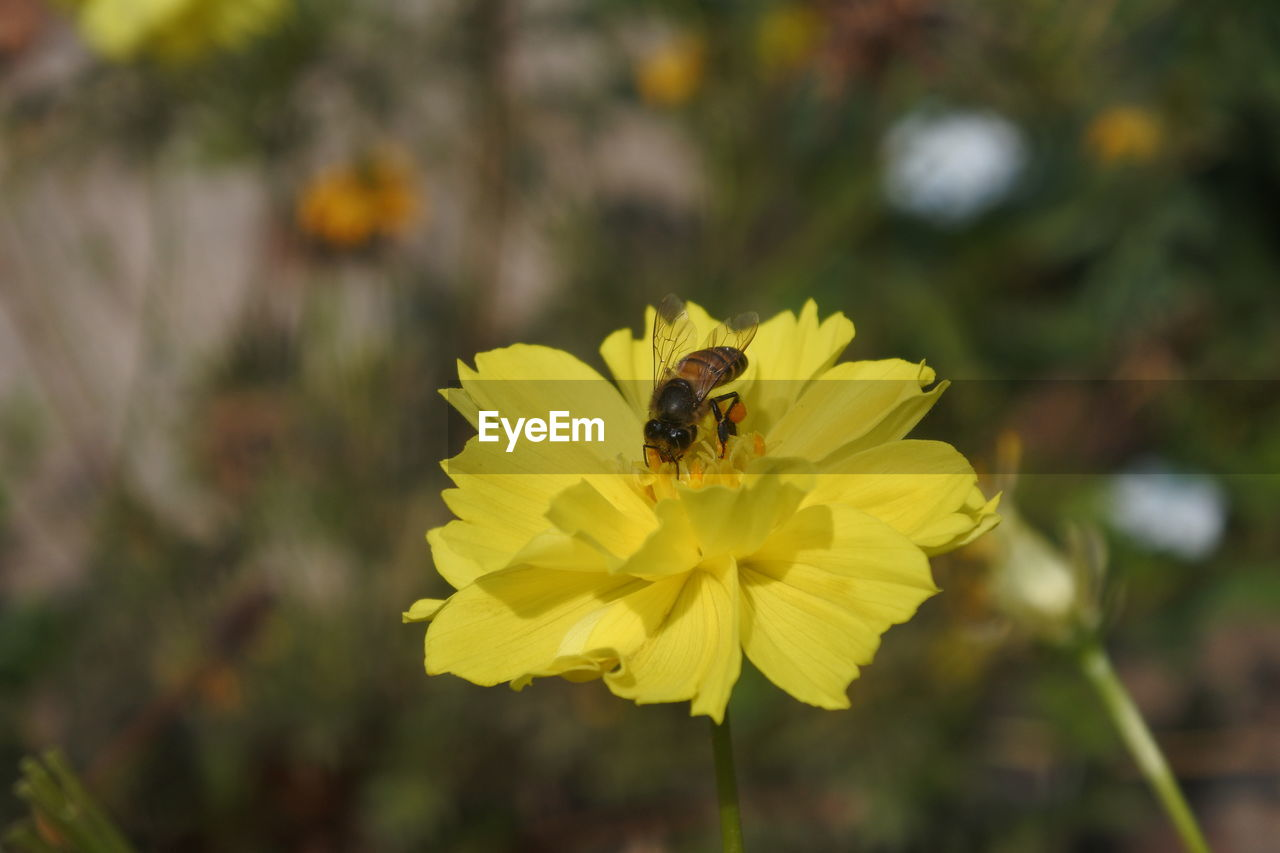 flower, insect, one animal, animal themes, petal, fragility, nature, animals in the wild, yellow, beauty in nature, growth, plant, focus on foreground, bee, freshness, flower head, pollination, outdoors, animal wildlife, day, close-up, no people, bumblebee