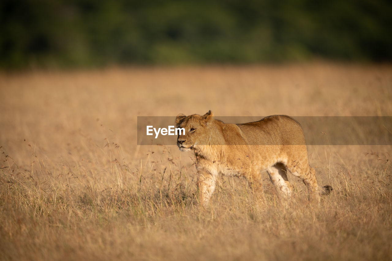 lion - feline, animal themes, animal, animals in the wild, animal wildlife, mammal, feline, cat, vertebrate, one animal, land, grass, lioness, field, female animal, no people, day, carnivora, selective focus