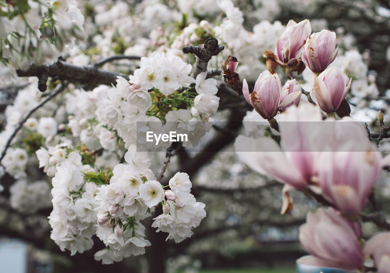 flower, flowering plant, fragility, vulnerability, plant, freshness, beauty in nature, growth, close-up, tree, nature, blossom, pink color, springtime, branch, petal, day, selective focus, no people, flower head, outdoors, cherry blossom, pollen, cherry tree, bunch of flowers, spring