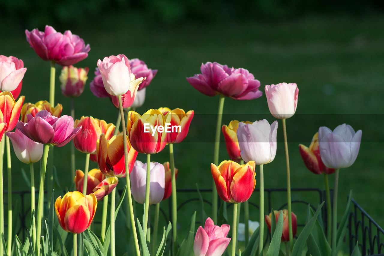 flowering plant, flower, plant, beauty in nature, fragility, vulnerability, petal, freshness, growth, flower head, close-up, inflorescence, pink color, nature, field, plant stem, land, no people, tulip, day, outdoors, springtime, flowerbed