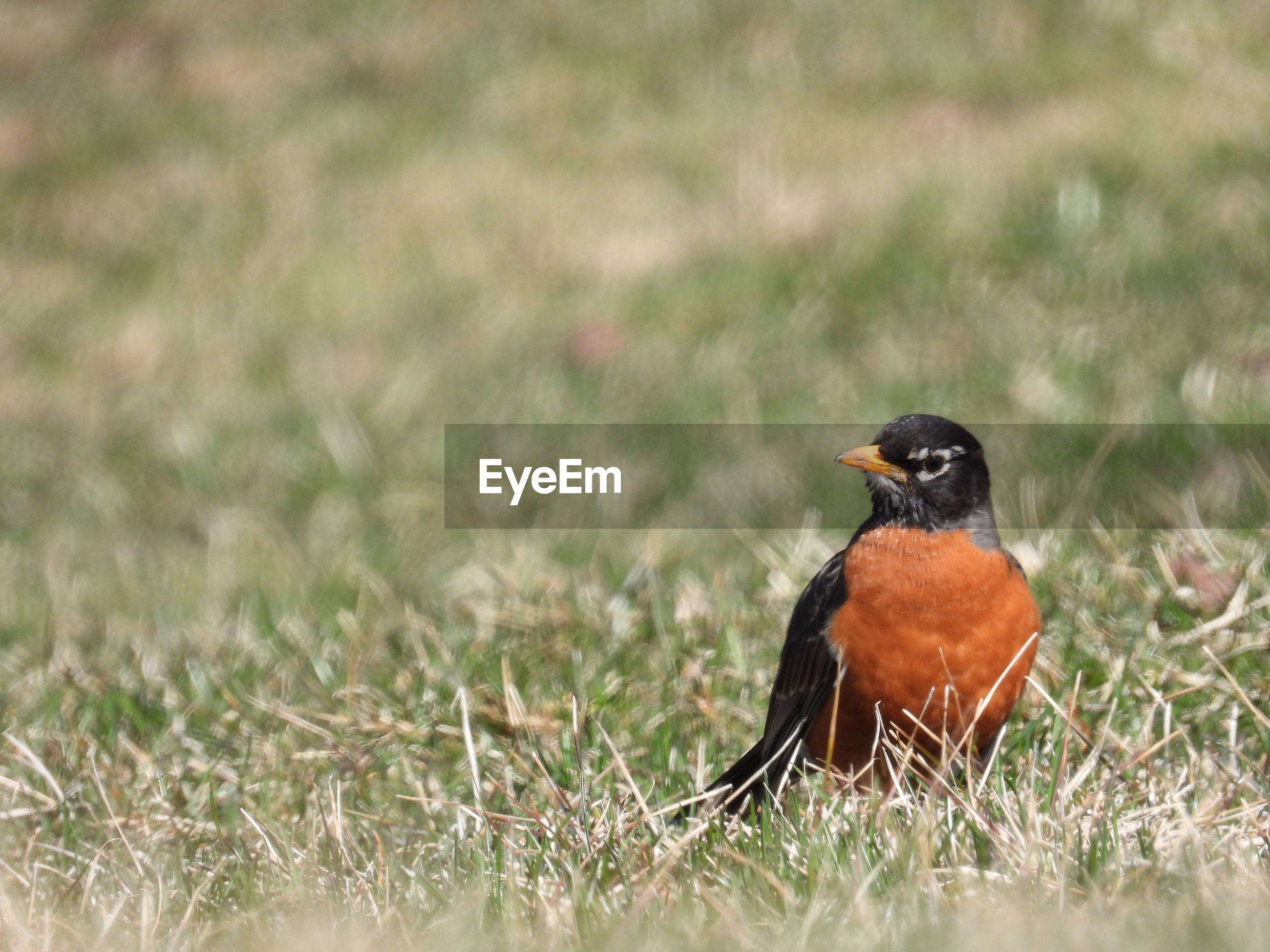 American robin sitting in the grass listening for worms.