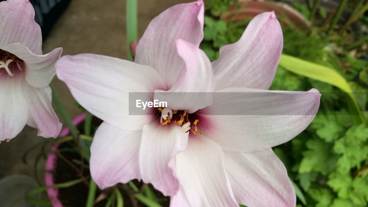 flower, flowering plant, petal, beauty in nature, plant, vulnerability, fragility, growth, freshness, close-up, flower head, inflorescence, pink color, pollen, nature, no people, focus on foreground, outdoors, day, stamen, purple
