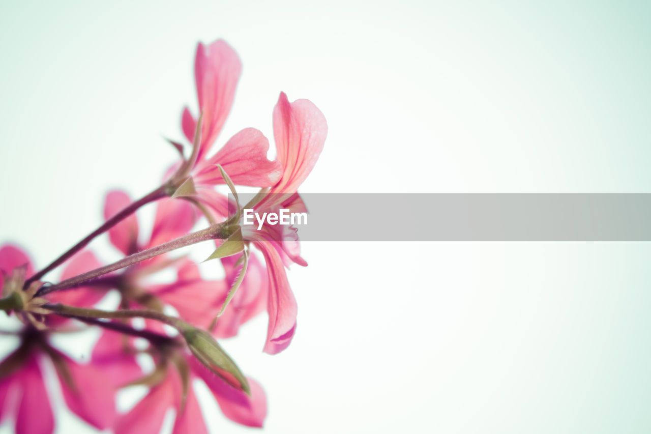 CLOSE-UP LOW ANGLE VIEW OF PINK FLOWER AGAINST CLEAR SKY