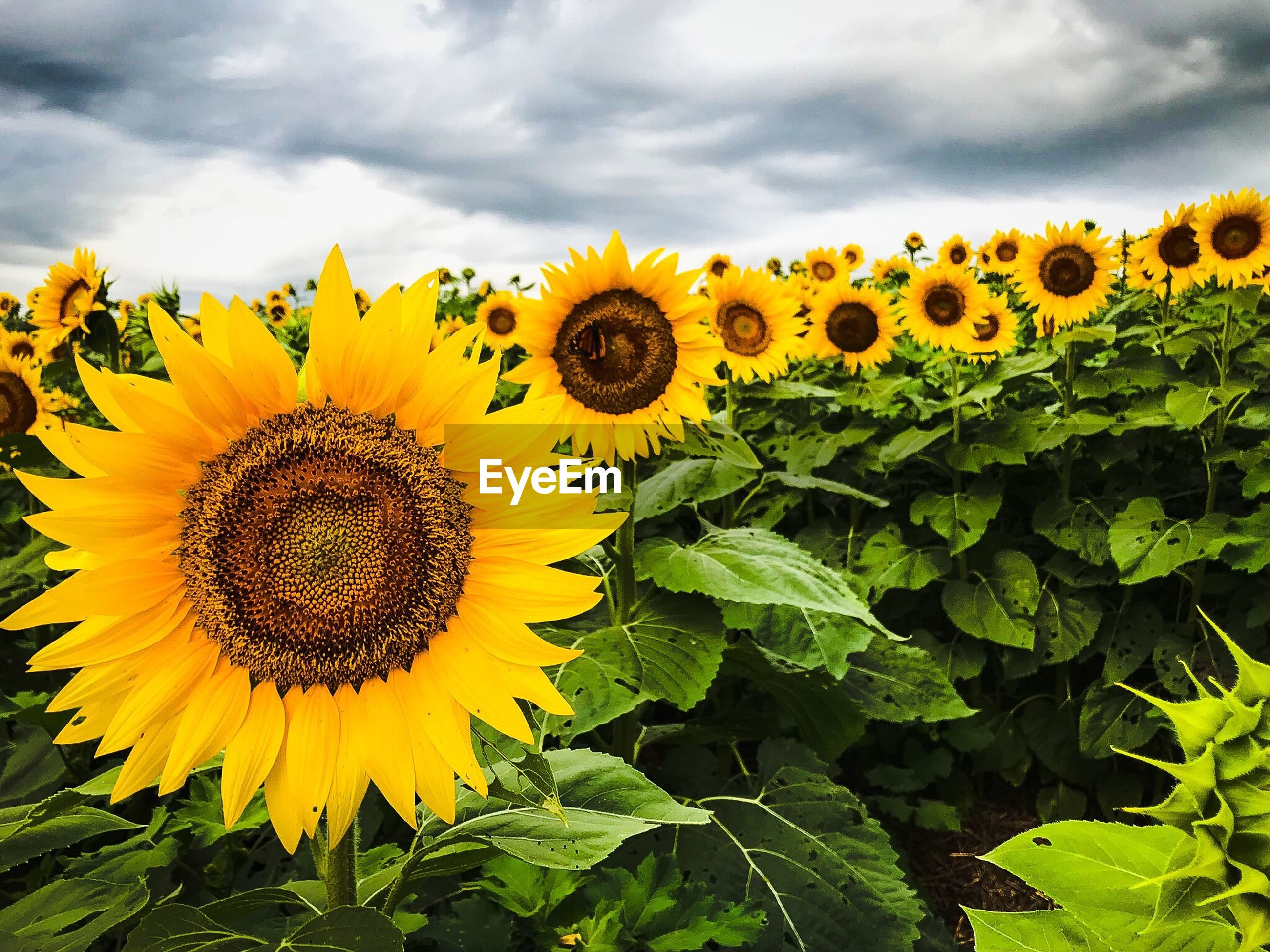 CLOSE-UP OF SUNFLOWER AGAINST YELLOW FLOWERING PLANTS