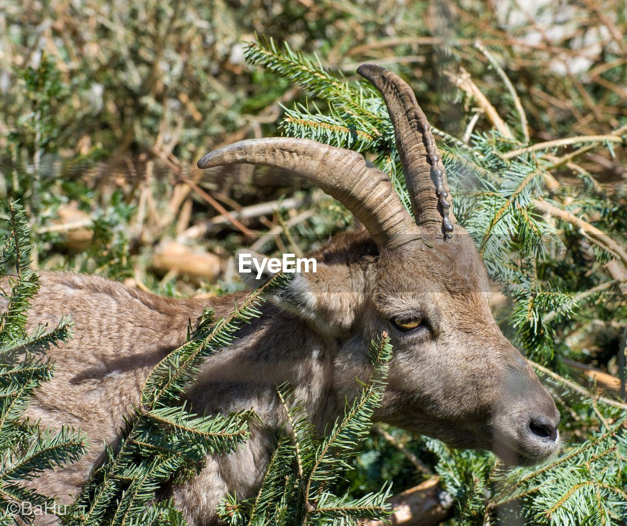 animal, animal themes, mammal, animal wildlife, one animal, plant, animals in the wild, no people, focus on foreground, nature, horned, vertebrate, domestic animals, day, outdoors, land, field, grass, animal body part, livestock, herbivorous, animal head