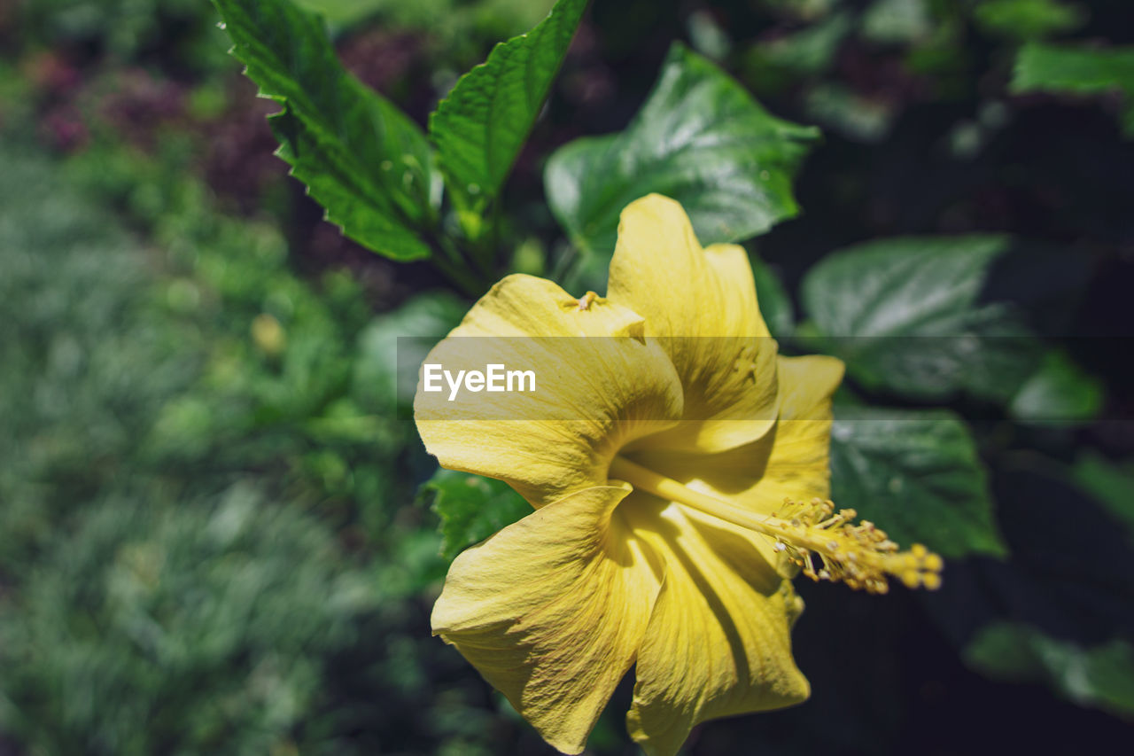 flowering plant, flower, beauty in nature, plant, yellow, fragility, vulnerability, freshness, growth, flower head, petal, inflorescence, close-up, focus on foreground, nature, day, no people, plant part, leaf, outdoors
