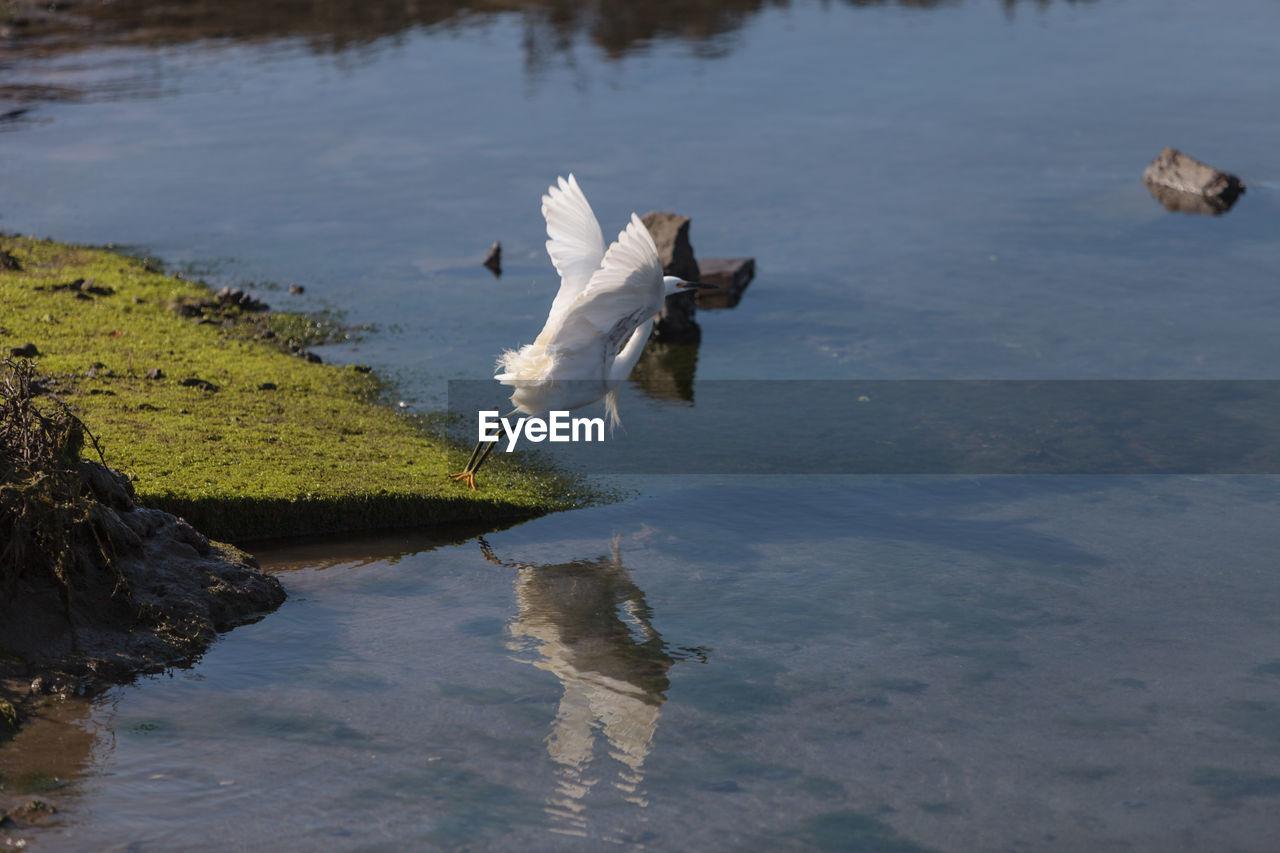 Snowy Egret Flying Over Lake
