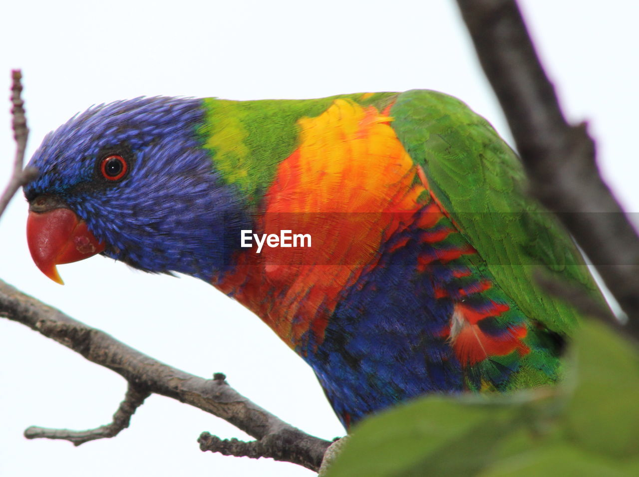 Close-Up Of Rainbow Lorikeet Perching On Branch