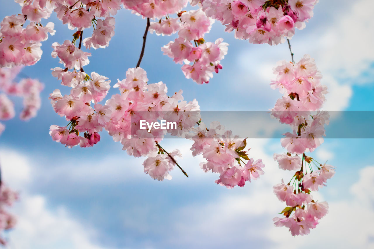 flowering plant, flower, plant, fragility, beauty in nature, vulnerability, growth, freshness, pink color, blossom, petal, nature, sky, tree, springtime, day, close-up, branch, low angle view, cherry blossom, no people, flower head, outdoors, cherry tree, spring