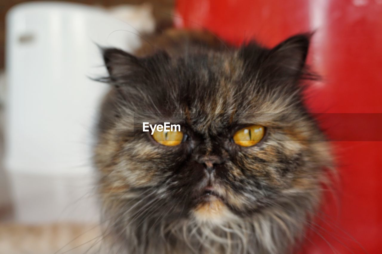 pets, cat, domestic, domestic cat, animal themes, mammal, domestic animals, animal, one animal, feline, indoors, portrait, vertebrate, looking at camera, close-up, whisker, focus on foreground, home interior, persian cat, no people, animal head, yellow eyes, animal eye