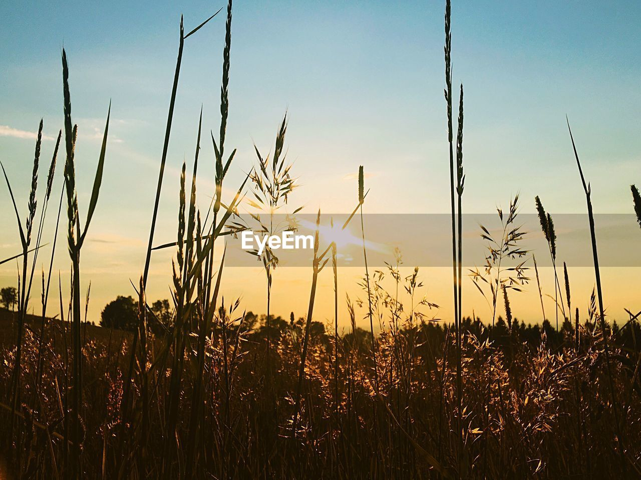 sky, growth, plant, field, tranquility, sunset, beauty in nature, land, landscape, nature, agriculture, tranquil scene, sunlight, rural scene, crop, scenics - nature, no people, sun, farm, environment, outdoors, lens flare, stalk, timothy grass