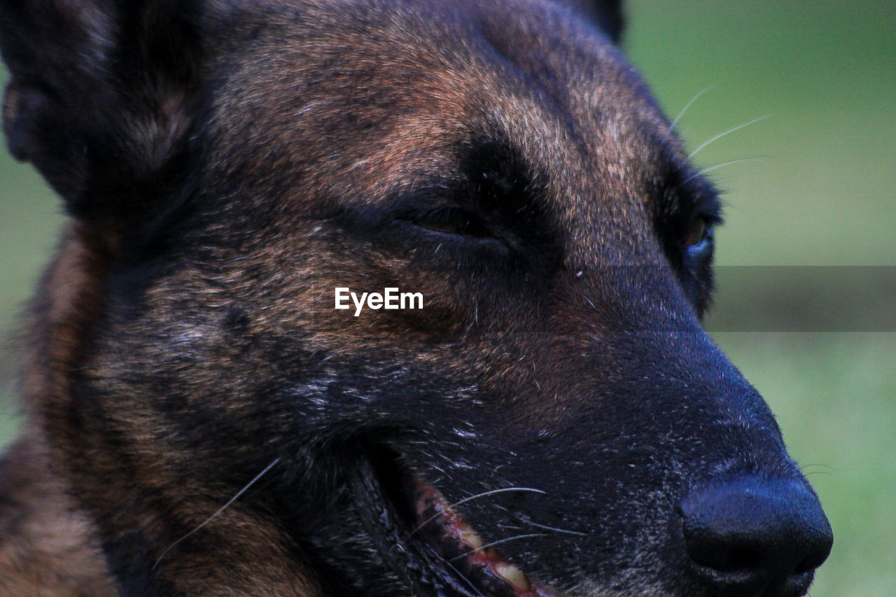 dog, one animal, domestic animals, animal themes, pets, mammal, close-up, animal head, outdoors, black color, no people, focus on foreground, day, nature